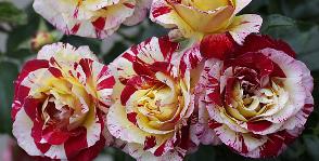 <strong>17</strong> сортов розы Флорибунда
