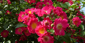 <strong>13</strong> сортов плетистой розы