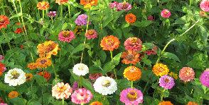 Цветущие однолетники: посев и выращивание